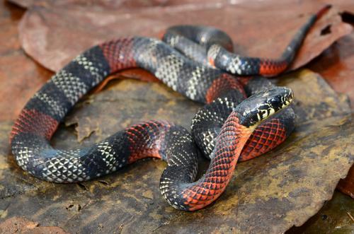 蛇 茶色 日本