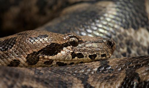 蛇 性別 判断 調べ方