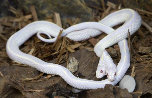 双頭 アルビノ 蛇