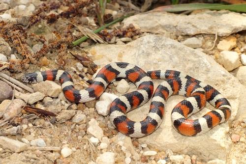 蛇 茶色 細い 赤