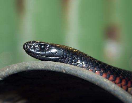 蛇 黒 オレンジ 斑点 意味