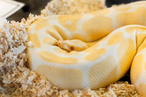 蛇 双頭 作り方 値段