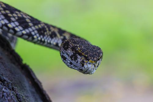 蛇 種類 黒 ペット