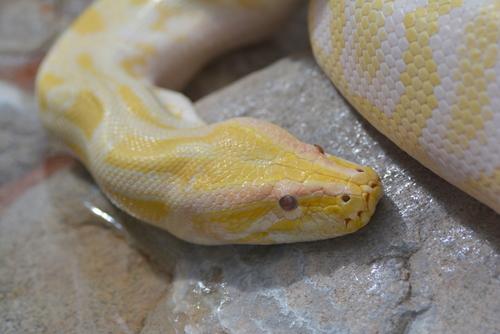 蛇 目 色 白 赤