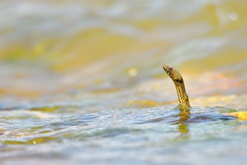 蛇 水 泳ぐ 浸かる