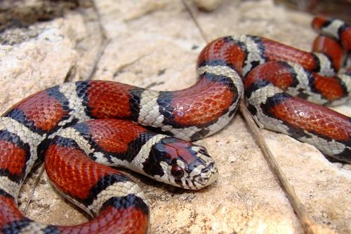 蛇 茶色 縞模様 黒い線