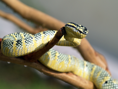 蛇 威嚇 尻尾 舌 鳴き声