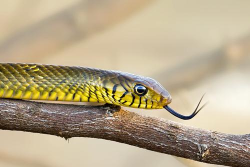 蛇 食べる サバイバル 自衛隊
