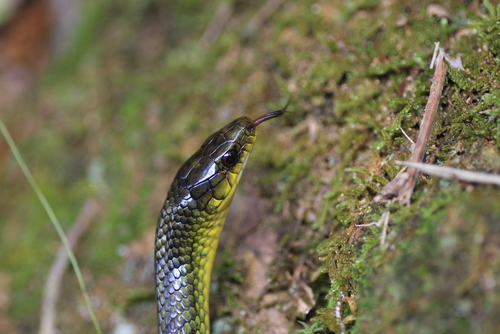 蛇 緑 シンガポール 沖縄 細い
