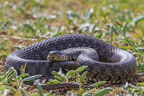 蛇 種類 食べる 食べ方 味