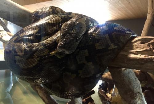 ニシキヘビ 大きさ 重さ
