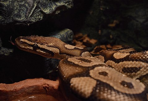 ニシキヘビ 飼育 許可