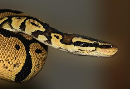 ニシキヘビ 飼育 餌 頻度