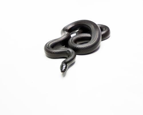 タカチホヘビ 販売 値段
