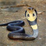 ヘビって耳はあるの?人間の歩く音は聞こえるの?