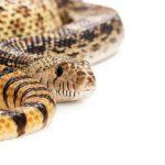 金色の蛇の夢と実在する白い蛇?蛇に噛まれる夢の意味は?