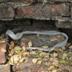 蛇が脱皮不全になったときの温浴の方法は?