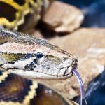 蛇は脱皮が近づくと餌を食べるのをやめるの?
