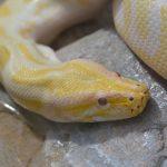 白くて目が赤い色の蛇はなんという種類の蛇?