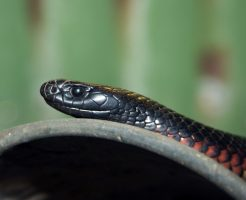 蛇 黒 オレンジ