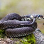 ヘビの病気。脱皮不全、体の腫れ。蛇の下半身ってどこから?