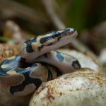 ペットの蛇をなつかせるのに、おすすめの餌は?