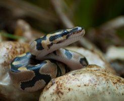 蛇 ペット なつく 餌 おすすめ