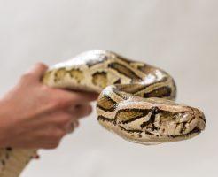 蛇 ペット 大型 大きい
