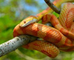 蛇 ペット コーンスネーク