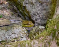シマヘビ 幼蛇 飼育