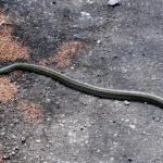 シマヘビの飼育方法!餌は何を与えたらいい!?
