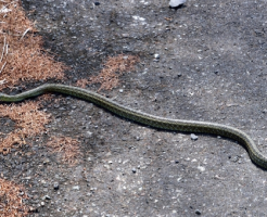 シマヘビ 飼育 餌