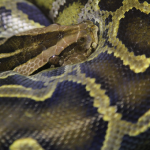 ニシキヘビをペットにしたい!値段は!?
