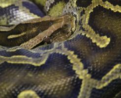ニシキヘビ ペット 値段
