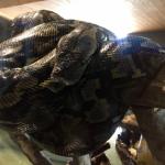 ニシキヘビの大きさや重さの特徴とは!?