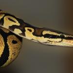 ニシキヘビを飼育する時の餌や餌の頻度とは!?