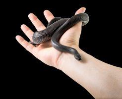 タカチホヘビ 分布 生息地