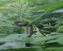 シマヘビ 寿命